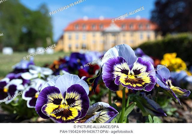 24 April 2019, Saxony-Anhalt, Dessau-Roßlau: Pansies bloom in front of the rococo castle Mosigkau in Dessau-Roßlau. Photo: Hendrik Schmidt/dpa-Zentralbild/ZB