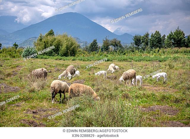Sheep grazing in open field with volcanic mountains in the distance , Kinigi, Rwanda