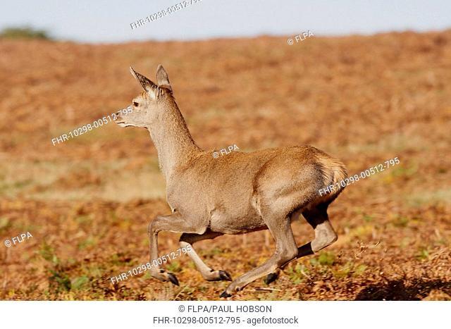 Red Deer Cervus elaphus hind, running, Bradgate Park, Leicestershire, England, autumn