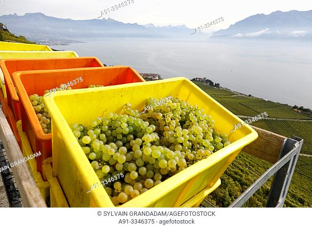Switzerland, Vaud Canton, Lavaux, Rivaz village, sloppy vineyards by lake Leman, Chaudet vineyards run by family Briaux, manager Titouan 22 years