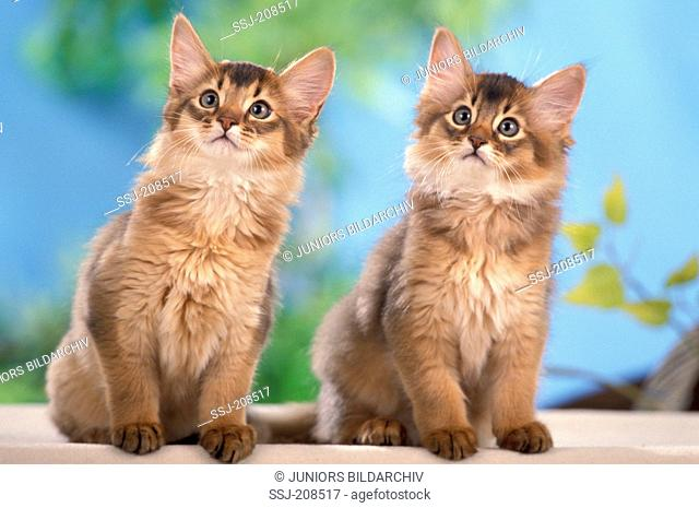 Somali cat. Two kittens sitting next to each other. Studio picture. Sale only in German-speaking countries