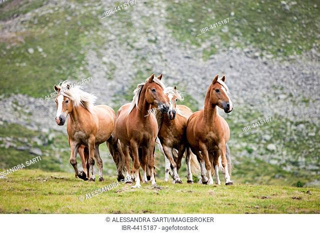 Dun Haflingers trotting, pasture, Kühtai, Tyrol, Austria