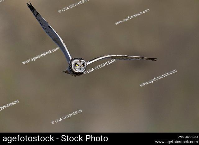 Short-eared Owl-Asio flammeus in flight. Winter