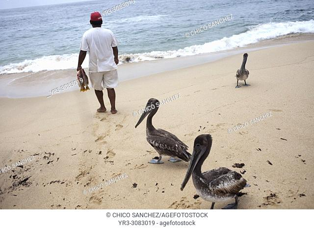 Pelicans follow a fisherman carrying fishes in a beach in Todos Santos, Baja California, Mexico