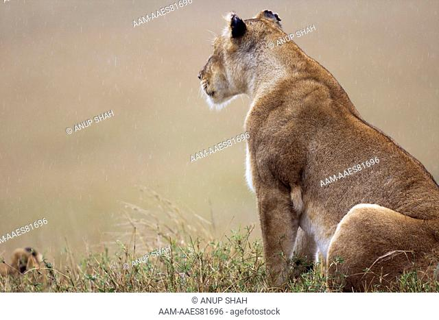 Lioness sitting portrait (Panthera leo). Maasai Mara National Reserve, Kenya. Sep 2008