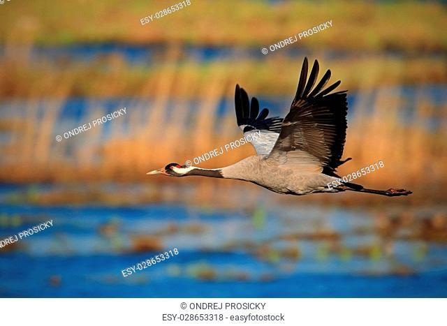 Common Crane, Grus grus
