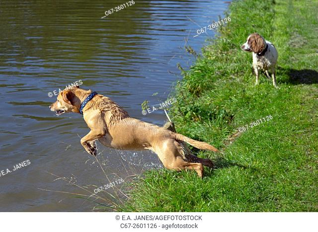 Yellow Labrador jumping into a canal Chilterns Buckinghamshire