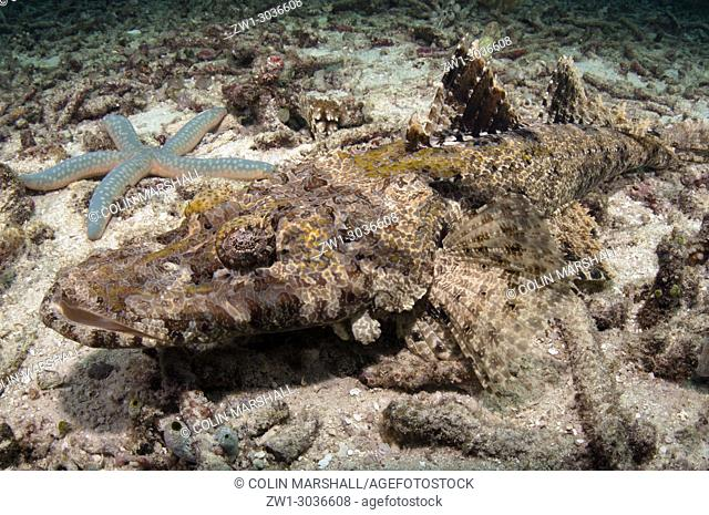Crocodile Flathead (Cymbacephalus beauforti) and Starfish (Linckia laevigata) in area with destroyed coral, Mioskon dive site, Dampier Straits, Raja Ampat