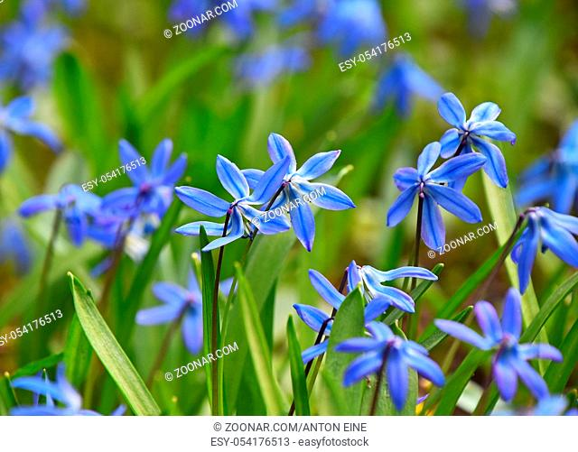 Close up many blue purple spring Scilla (Squill, bluebell, snowdrop) flowers in field, low angle view, selective focus
