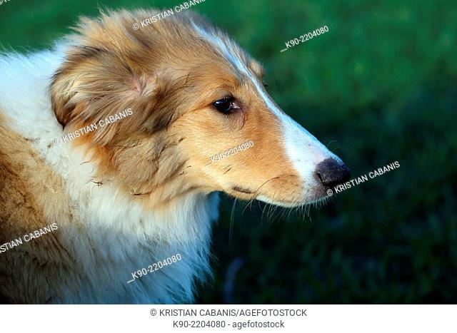 Male American Collie cub, Hanover, Lower Saxonia, Germany, Europe