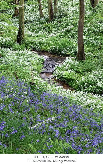Common Bluebell (Hyacinthoides non-scripta) and Ramsons (Allium ursinum) flowering mass, growing beside stream in ancient deciduous woodland habitat