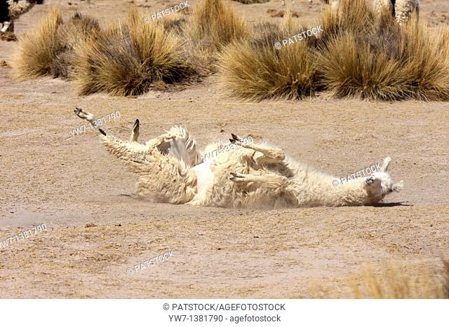 Llama lying on her back in the vicinity of Negrillos village in Bolivia