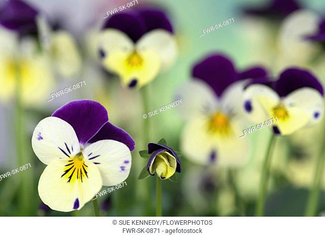Viola, Viola 'Sorbet' XP Lemon Royale, Tiny delicate pansy flowers growing outdoor