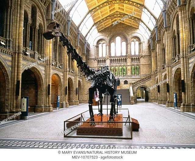 The Central Hall features the famous replica diplodocus skeleton seen here. It was presented to the Natural History Museum in 1905 by the Carnegie Museum in...