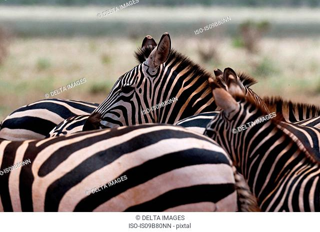 Grant's Zebra (Equus quagga boehmi), Tsavo East National Park, Kenya