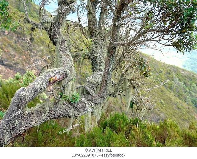 overgrown tree at Mount Muhabura in Uganda