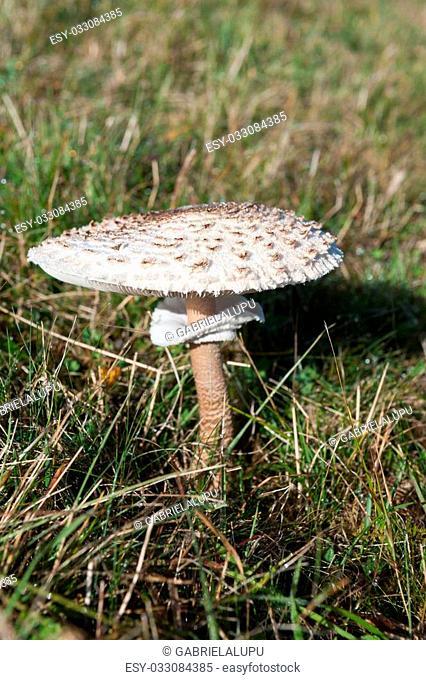 white wild mushroom
