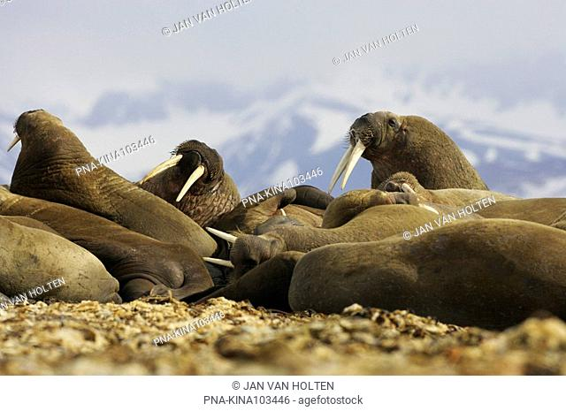 Walrus Odobenus rosmarus - Torellneset, Nordaustlandet, Spitsbergen, Svalbard, Europe