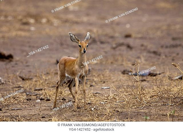 Steenbok Raphicerus Campestris  Mashatu Game Reserve  Tuli block, Botswana  November 2010