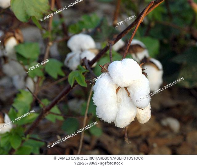 Cotton bolls in Tennessee cotton field