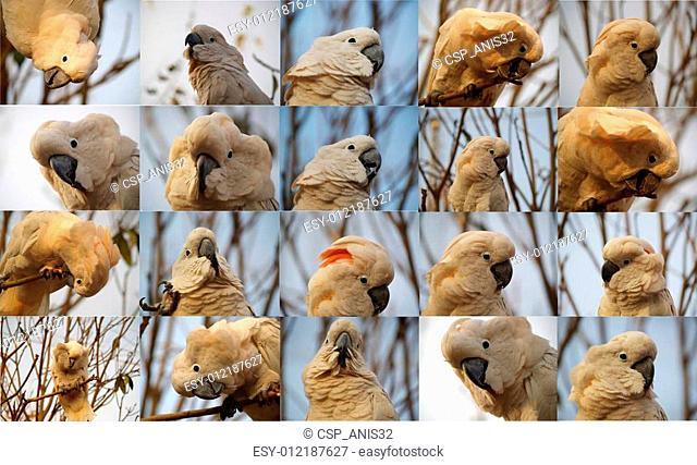 i am cuddly i am moluccan cockatoo