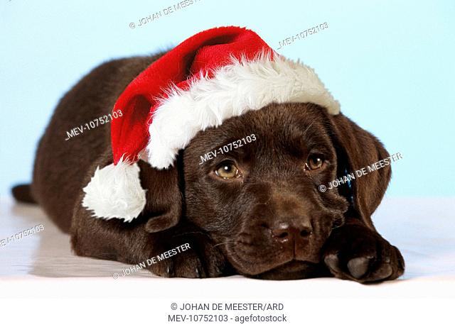 Chocolate Labrador Dog - puppy lying down wearing Christmas hat