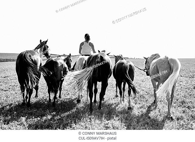 B&W rear view image of woman riding and leading six horses in field