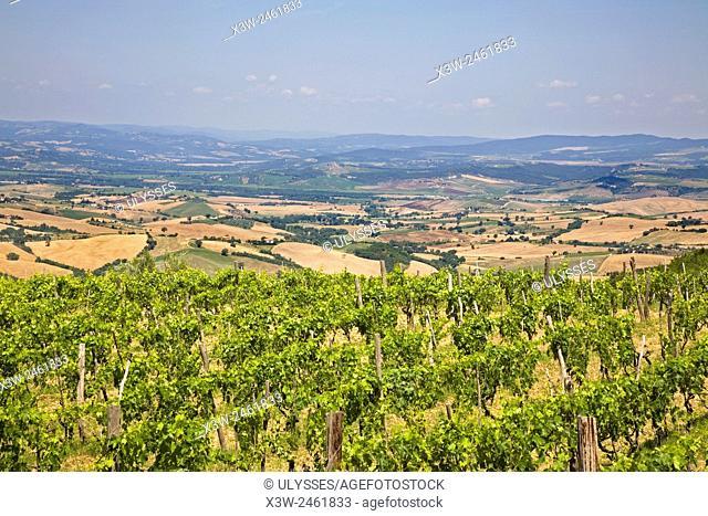europe, italy, tuscany, cinigiano, wineyards