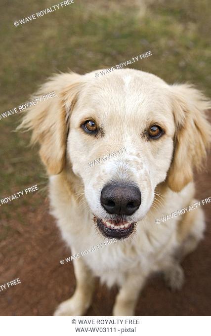 Tan coloured mixed breed dog seated, Canada, Alberta