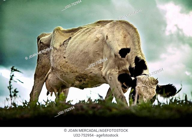 Cow grazing. Minorca, Balearic Island, Spain