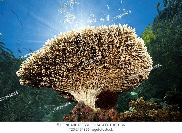 Table Coral on Reef Top, Acropora sp. , Marovo Lagoon, Solomon Islands
