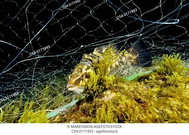 Professional fishing. Ballan Wrasse (Labrus bergylta) in the net. Eastern Atlantic. Galicia. Spain. Europe