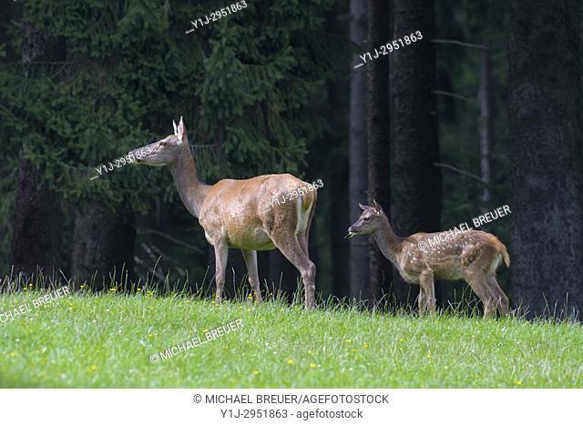 Red deer (Cervus elaphus) in Summer, Female with young, Spessart, Hesse, Germany, Europe