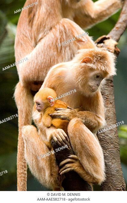 Ebony Langur, Trachypithecus auratus, Mother and baby, Vietnam, Laos, Cambodia, Bronx Zoo, New York, New York