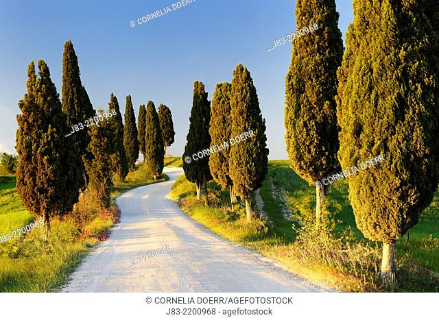 Rural road with cypress trees, Val d'Orcia, Orcia Valley, Fields and cypress trees, Tuscany Landscape, UNESCO world heritage site, Pienza, Siena Province