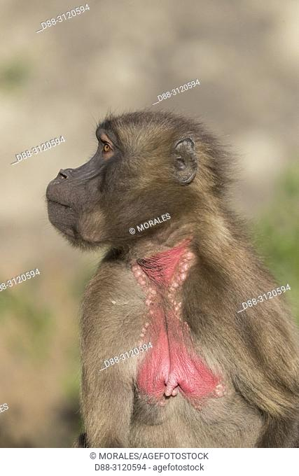Africa, Ethiopia, Rift Valley, Debre Libanos, Gelada or Gelada baboon (Theropithecus gelada), young male