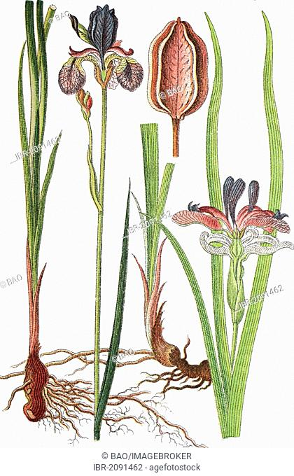 Siberian iris (Iris sibirica) on the left, grass-leaved flag (Iris graminea) on the right, medicinal plants, crop plants, chromolithography, 1876