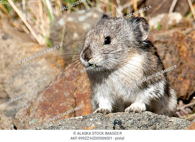 Close up of a pika on a rock in Denali National Park & Preserve, Interior Alaska, Autumn