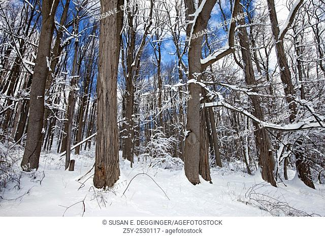 Snowy woodland, Jockey Hollow, Morristown National Historical Park, New Jersey