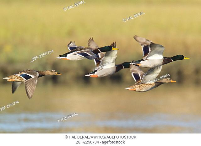 Male and female Mallard Ducks in flight.(Anas platyrhynchos).Back Bay Reserve, California