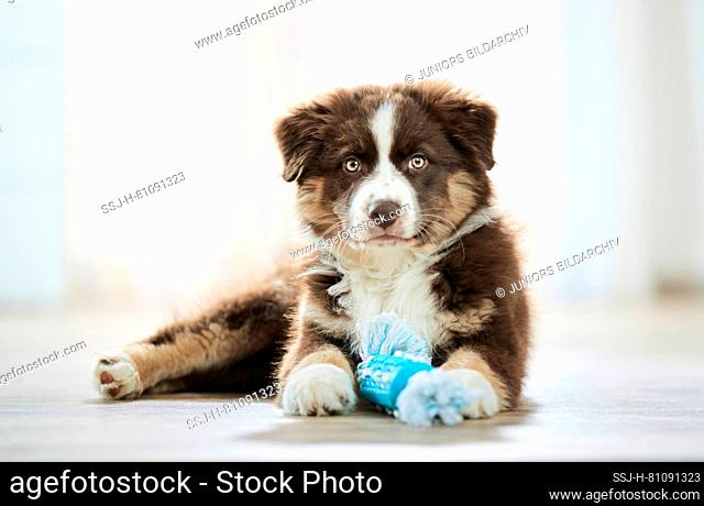 Australian Shepherd. Puppy lying on wooden floor, with toy among its paws. Germany