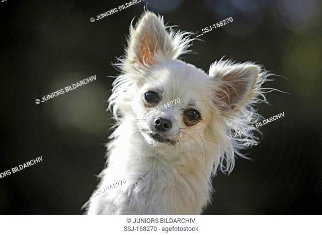 Chihuahua, portrait of long-haired individual