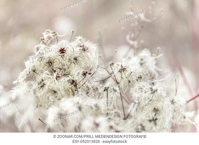 natural background showing a detail of feathered seeds in blurry back