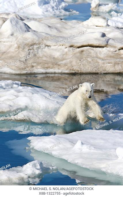 A young polar bear Ursus maritimus leaping from ice floe to ice floe on multi-year ice floes in the Barents Sea off the eastern coast of Edge¯ya Edge Island in...