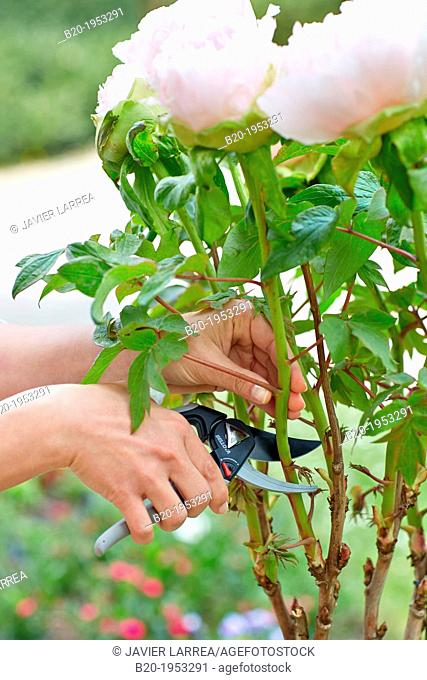 Gardener cutting flowers, Pruning secateurs, Hand tool, Garden, Roses