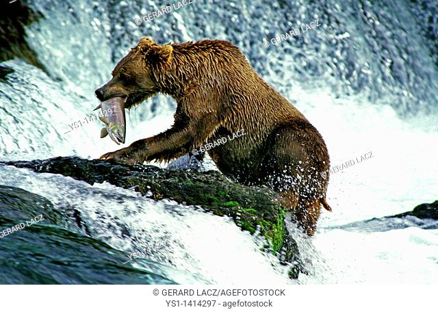 GRIZZLY BEAR ursus arctos horribilis, ADULT FISHING SALMON, BROOKS FALLS IN ALASKA