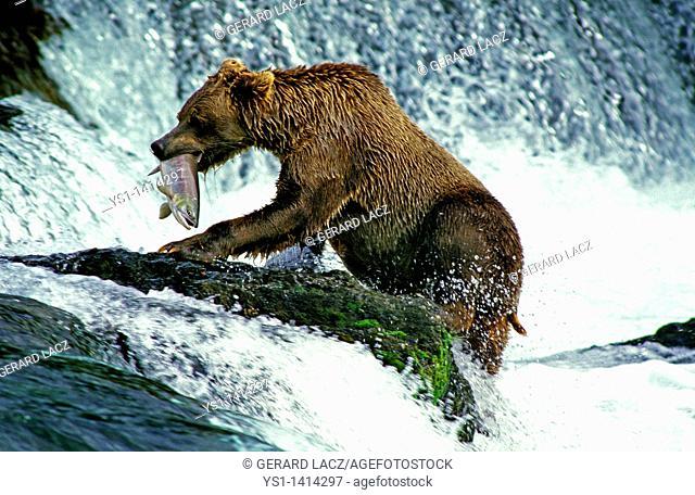 GRIZZLY BEAR ursus arctos horribilis, ADULT FISHING SALMON, BROOKS FALLS IN ALASKA
