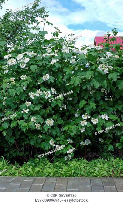 Viburnum flowering