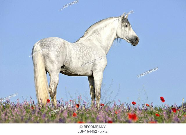 Pure Spanish-bred horse - walking on meadow