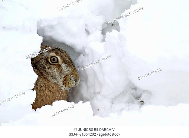 European Brown Hare (Lepus europaeus). Adult in its form in snow. Germany